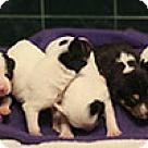 Adopt A Pet :: Cassie's pup Orion