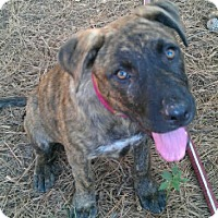 Adopt A Pet :: Morgan Adoption pending - Manchester, CT