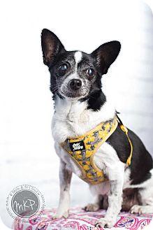Chihuahua/Rat Terrier Mix Dog for adoption in St. Bonifacius, Minnesota - Grandma