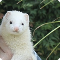 Ferret for adoption in Chantilly, Virginia - Blanca