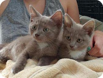 Domestic Shorthair Kitten for adoption in Centreville, Virginia - liza