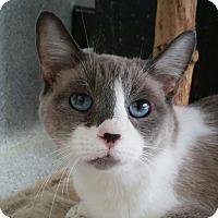 Siamese Cat for adoption in Mountain Center, California - Star