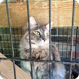 Calico Cat for adoption in Pulaski, Tennessee - Luna
