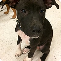 Adopt A Pet :: Pirate in CT - Manchester, CT