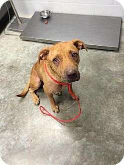 Labrador Retriever/Bulldog Mix Dog for adoption in Paducah, Kentucky - Ginger