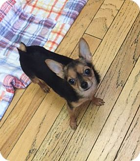 Chihuahua Dog for adoption in Temecula, California - Boo Boo