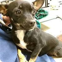 Adopt A Pet :: Gigi #1013 - Nixa, MO