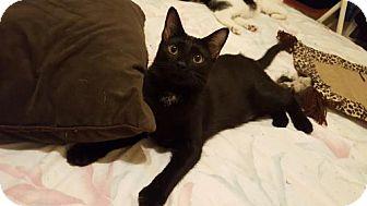 Domestic Shorthair Kitten for adoption in Orlando, Florida - Admiral Flufflebum (TH) 3.21.16
