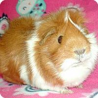 Adopt A Pet :: Nala - Steger, IL