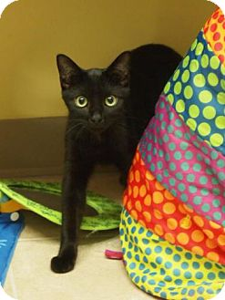 Domestic Shorthair Cat for adoption in Ocean City, New Jersey - Slinky
