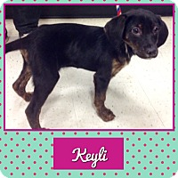 Adopt A Pet :: Keyli in CT - East Hartford, CT