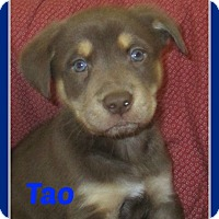 Adopt A Pet :: Tao - Clear Lake, IA