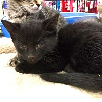 Adopt A Pet :: Shadow - Sterling Heights, MI