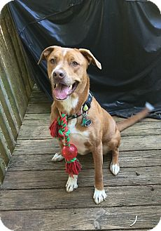 Labrador Retriever/American Staffordshire Terrier Mix Dog for adoption in Marietta, Georgia - Bo
