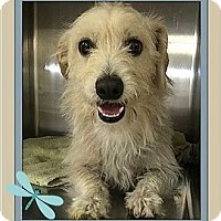 Cairn Terrier Mix Dog for adoption in West Los Angeles, California - Whiskers