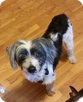 Chinese Crested Dog for adoption in Gilford, New Hampshire - Party (New England)