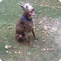 Adopt A Pet :: Dobie - Greenville, NC