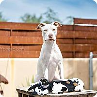Adopt A Pet :: Sansa - Cave Creek, AZ