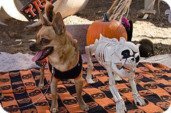 Chihuahua Dog for adoption in Phoenix, Arizona - POLLY
