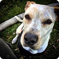 Adopt A Pet :: Hoschi - Reno, NV