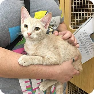 Domestic Shorthair Cat for adoption in Sunset, Louisiana - Bailey @ Petco North
