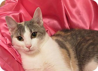 Domestic Shorthair Cat for adoption in St. Louis, Missouri - Lynne