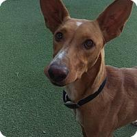 Adopt A Pet :: Buddy - Cape Coral, FL