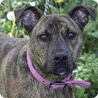 Adopt A Pet :: Freyah - Edwardsville, IL