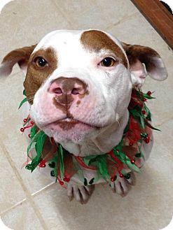 American Pit Bull Terrier/American Staffordshire Terrier Mix Dog for adoption in Kill Devil Hills, North Carolina - MIckey