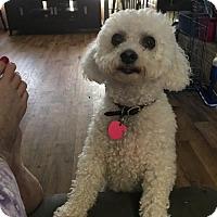 Bichon Frise Dog for adoption in Healdsburg, California - Daisy