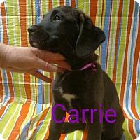 Adopt A Pet :: Carrie - Garden City, MI