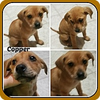 Adopt A Pet :: COPPER - Malvern, AR