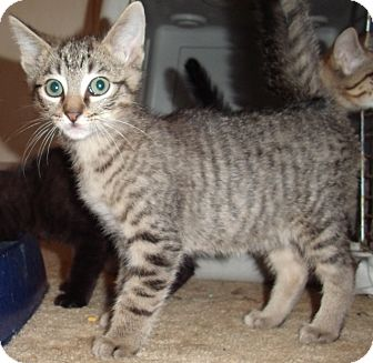 Domestic Shorthair Kitten for adoption in Porter, Texas - Nutmeg