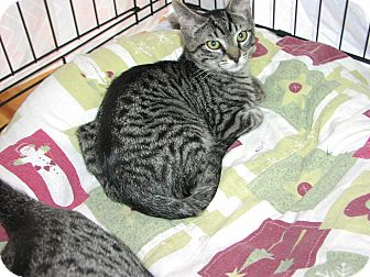 Domestic Shorthair Kitten for adoption in Speonk, New York - Keith