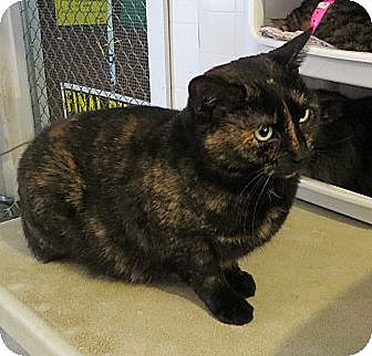 Domestic Shorthair Cat for adoption in Geneseo, Illinois - Java