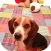 Beagle Dog for adoption in Novi, Michigan - Fiji