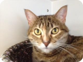 Domestic Shorthair Cat for adoption in Fargo, North Dakota - Cosmos