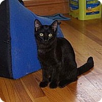 Adopt A Pet :: Boston Blackie - Portland, ME