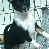 Adopt A Pet :: Hero - House Springs, MO