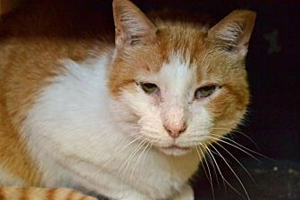 Domestic Shorthair Cat for adoption in Akron, Ohio - Van Gogh *Special Adoption Fee