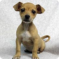 Adopt A Pet :: BRUISER - Westminster, CO