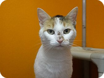 Domestic Shorthair Cat for adoption in Elyria, Ohio - Pop Tart