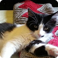 Domestic Shorthair Kitten for adoption in Rochester Hills, Michigan - Puff