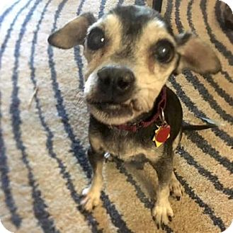 Chihuahua Mix Dog for adoption in Austin, Texas - Birdie