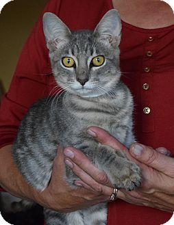 Domestic Shorthair Kitten for adoption in Surrey, British Columbia - Spice