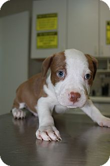 American Staffordshire Terrier/American Pit Bull Terrier Mix Puppy for adoption in Pompano Beach, Florida - A Rose Puppy 3