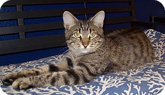 Domestic Shorthair Kitten for adoption in Georgetown, Texas - Moon