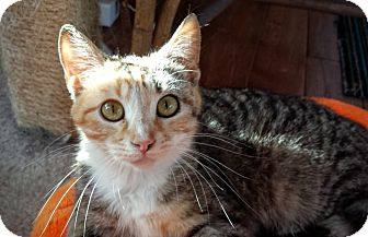 Domestic Shorthair Cat for adoption in Manitowoc, Wisconsin - Blossom