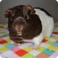 Guinea Pig for adoption in Michigan City, Indiana - Chocolate