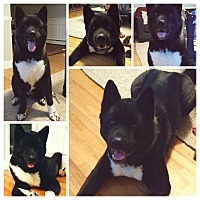 Adopt A Pet :: Hero - Hicksville, NY